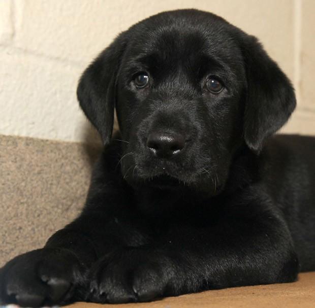 Labrador Amani, de 8 semanas de idade, deve proporcionar uma influência 'calmante' sobre felinos. (Foto: AP Photo/Dallas Zoological Society)