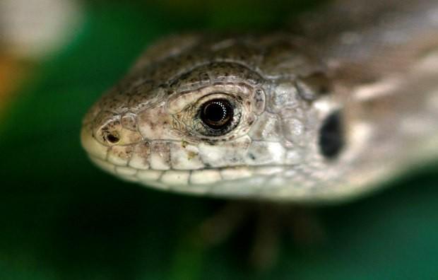 Ao todo, cerca de 9 mil lagartos-ágeis já foram reintroduzidos na natureza por meio de projetos de conservação. (Foto: Reuters/Phil Noble)