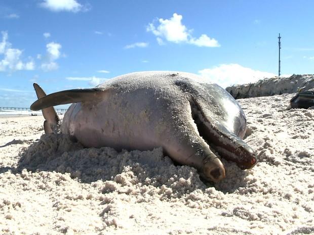 Golfinho foi levado pelo Instituto Biota e será usado para esdutos de biólogos. (Foto: Reprodução/TV Gazeta)