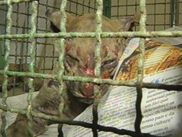 Filhote de onça chegou bastante machucado a ONG em Assis (Foto: reprodução/TV Tem)