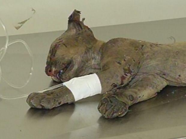 Animal precisou ser dopado para receber o soro e passar pelos exames (Foto: reprodução/TV Tem)
