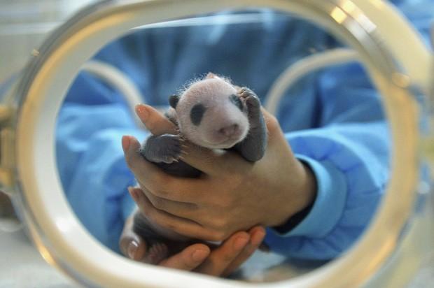 Uma cuidadora segura filhote de panda nascido em agosto; ele foi o único dos trigêmeos a sobreviver. (Foto: Reuters/Stringer )