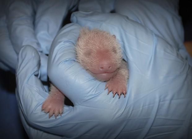 Filhote de panda nascida em agosto; teste confirmou que ela é fêmea (Foto: Courtney Janney/Zoológico Nacional Smithsonian/Reuters)