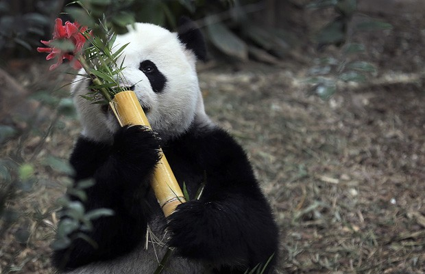 Panda-gigante celebra 6 anos de vida, ao lado da fêmea Jia Jia (Foto: Wong Maye-E/AP)