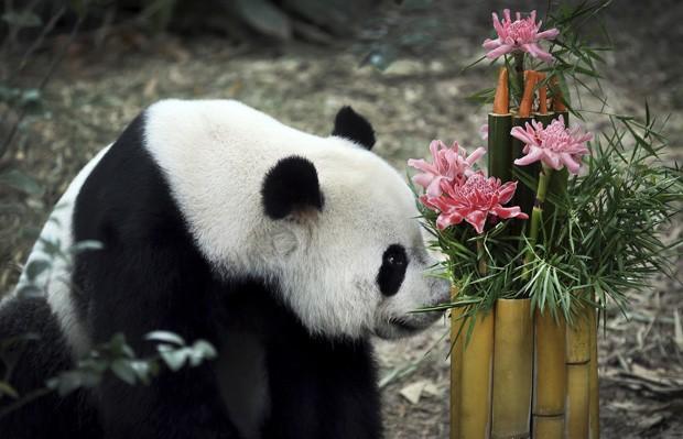 Kai Kai examina bolo com bambu, flores e vegetais que ganhou de presente em zoológico (Foto: Wong Maye-E/AP)