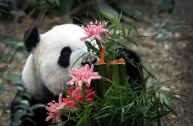 Data também celebra o primeiro ano do empréstimo dos animais, que vêm da China (Foto: Wong Maye-E/AP)