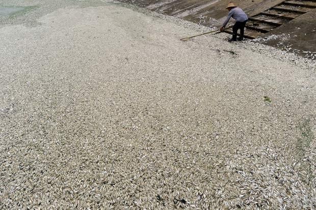 Mais de 30 mil quilos de peixes mortos foram retirados só na segunda-feira. (Foto: AFP Photo)
