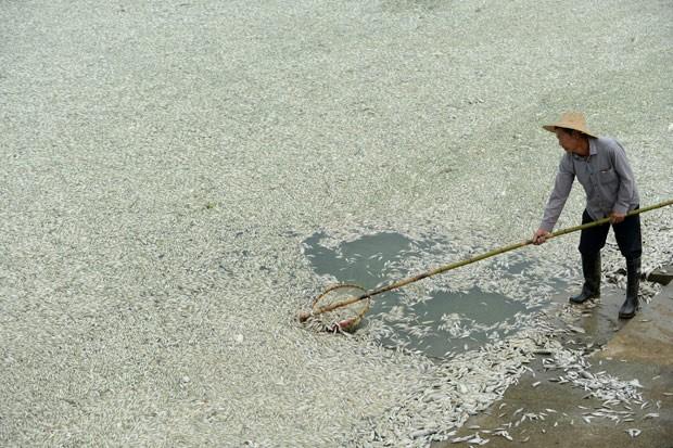 Morador retira peixes mortos do Rio Fuhe, na China, nesta terça-feira. (Foto: AFP Photo)