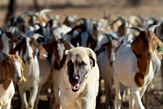 Bonzo conduz rebanho de cabras na fazenda de Retha Joubert, perto de Gobabis, a leste da capital da Namíbia, Windhoek , no dia 15 de agosto (Foto: Jennifer Bruce/AFP)