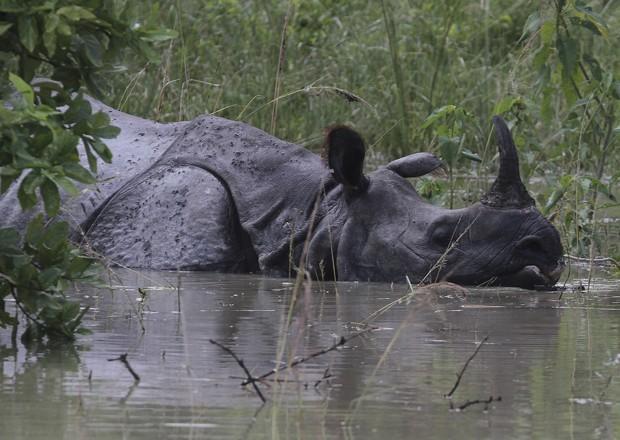 Rinoceronte 'nada' em área alagada de santuário de animais (Foto: Anupam Nath/AP)