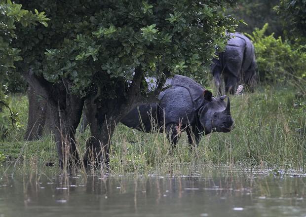 Rinocerontes fogem de área alagada em santuário indiano (Foto: Anupam Nath/AP)