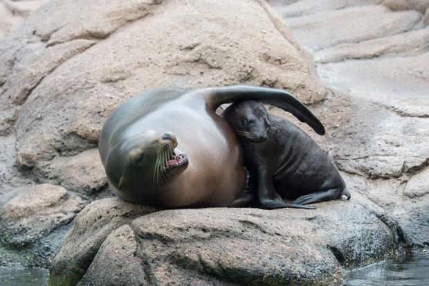 Julie Larsen Maher registrou um momento carinhoso entre uma fêmea de leão-marinho e seu filhote (Foto: Julie Larsen Maher/Wildlife Conservation Society/AP)