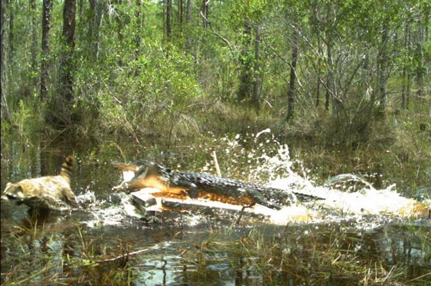 Câmeras de monitoramento flagraram um guaxinim tentando escapar de um ataque de um aligátor (Foto: Reprodução/Facebook/Florida Fish and Wildlife Conservation Commission)