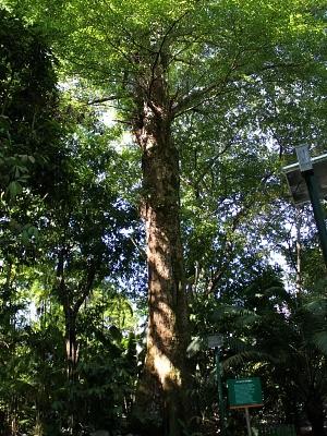 Tanimbuca mede 35 metros de altura (Foto: Girlene Medeiros/G1 AM)