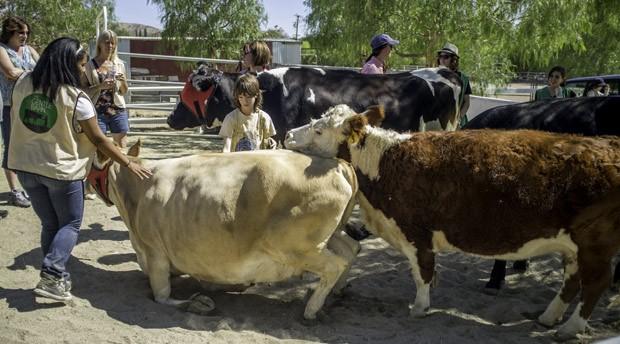 Visitantes brincam com vacas resgatadas por instituição. (Foto: AFP Photo/Joe Klamar)