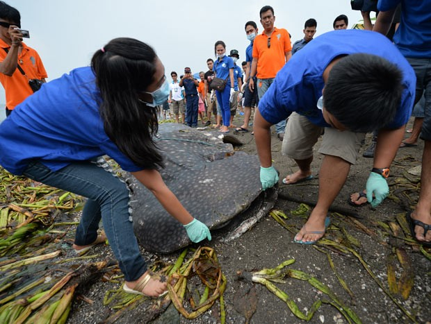 Veterinários tentam abrir a boca de tubarão-baleia encontrado morto na costa. (Foto: AFP Photo/Ted Aljibe)