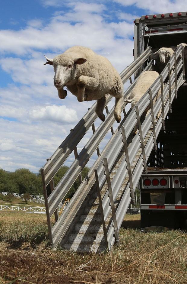 Uma ovelha parecia 'voar' ao saltar ao descer de um caminhão em uma fazenda em Soldier Hollow, no estado de Utah (EUA) (Foto: Francisco KjolsethThe Salt Lake Tribune/AP)