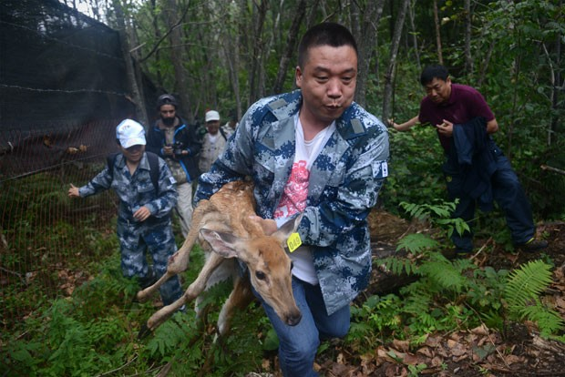 Membro da WWF carrega veado ferido que foi levado à reserva para servir de presa para os tigres. (Foto: AFP Photo/Wang Zhao)