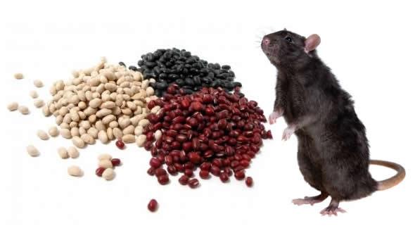 Será que o feijão cru é um veneno natural para os ratos?