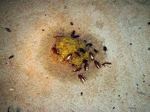 Pesquisador inventou uma estratégia caseira para combater a infestação (Foto: Wilson Uieda/Divulgação)