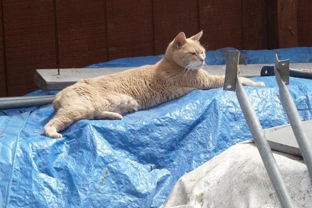 Em foto de arqjuivo, gato Prefeito Stubbs relaxa no mercadinho em que mora em Talkeetna, no estado americano do Alasca (Foto: Sandy Bubar/AP)