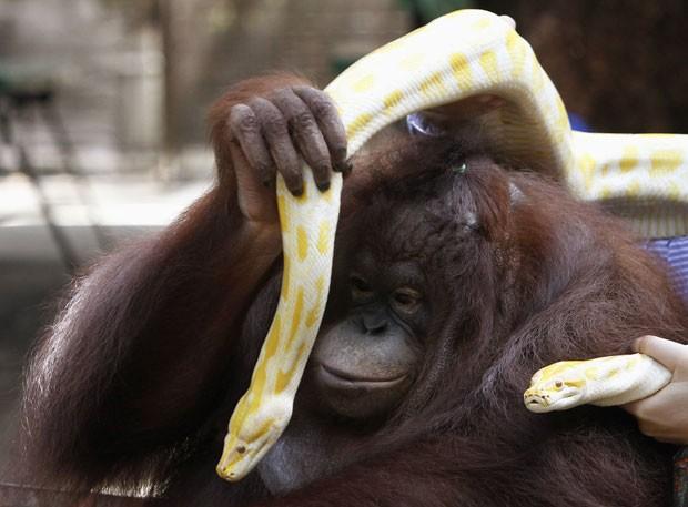 Orangotango foi fotografado nesta quinta-feira (3) brincando duas pítons-birmanesas albinas (Foto: Romeo Ranoco/Reuters)