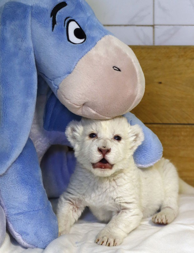 Zoológico da capital sérvia tem um total de 11 leões brancos (Foto: Marko Djurica/Reuters)