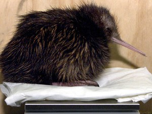 Restam apenas 400 exemplares de aves kiwi no mundo. (Foto: AFP Photo/Files/Torsten Blackwood)