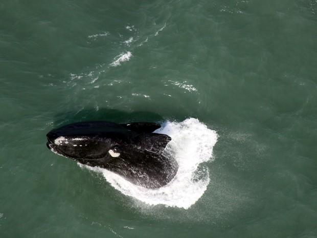 Salto de baleia-franca é registrado durante sobrevoo de helicóptero (Foto: Paulo Flores/CMA/ICMBio)