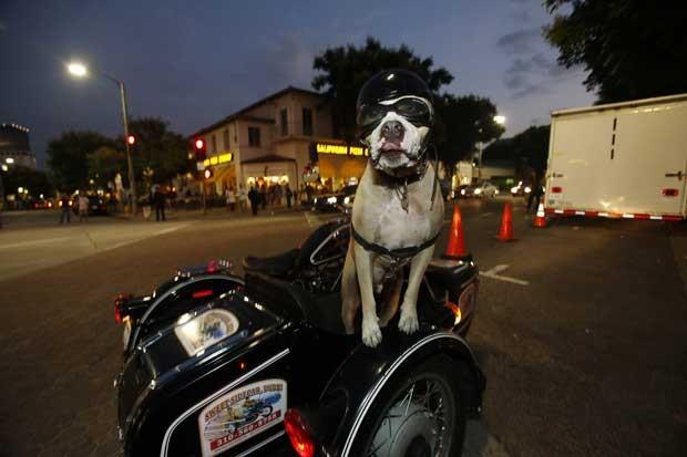 Cão cai da prancha em campeonato na Califórnia, nos EUA, neste domingo (29) (Foto: Lucy Nicholson/Reuters)
