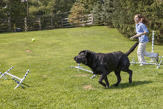 Labrador Ruby percorre circuito em resort para pets nos EUA (Foto: Tony Cenicola/The New York Times)