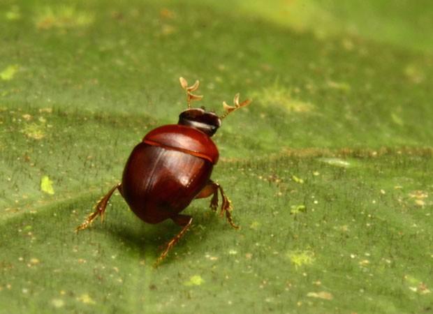 Exemplar de besouro-liliputiano que tem 2,3 milímetros e foi encontrado por pesquisadores na América do Sul (Foto: Divulgação/Trond Larsen/Conservação Internacional)