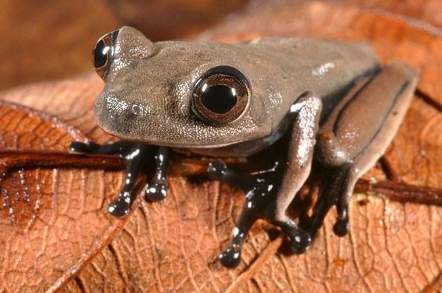 Exemplar de sapo-cacau, encontrado por cientistas no Suriname durante expedição (Foto: Divulgação/Stuart V Nielsen/Conservação Internacional)