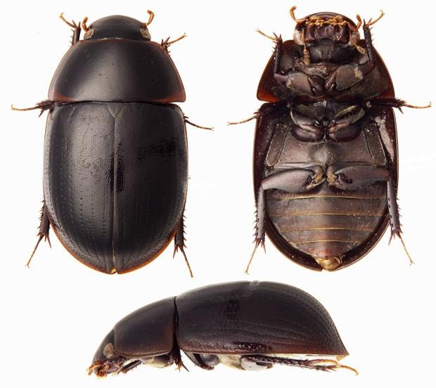 Além de ser uma nova espécie, este besouro é também um novo gênero, de acordo com cientistas (Foto: Divulgação/Andrew Short/Conservação Internacional)