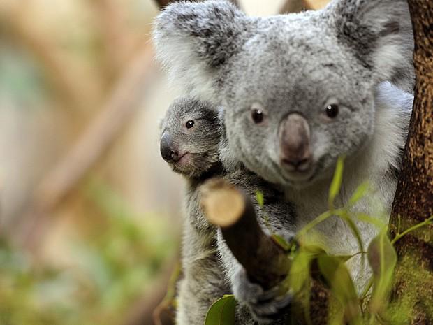 Mãe e filhote de coala são vistos no Zoológico de Duisburg, na Alemanha, em março (Foto: Marius Becker/DPA/Arquivo AFP)