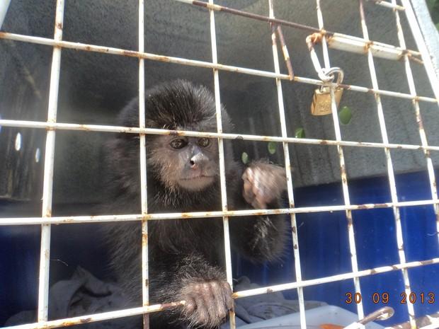 Macaco-prego será encaminhado para o Centro de Triagem Animal em Florianópolis (Foto: Famae/Divulgação)