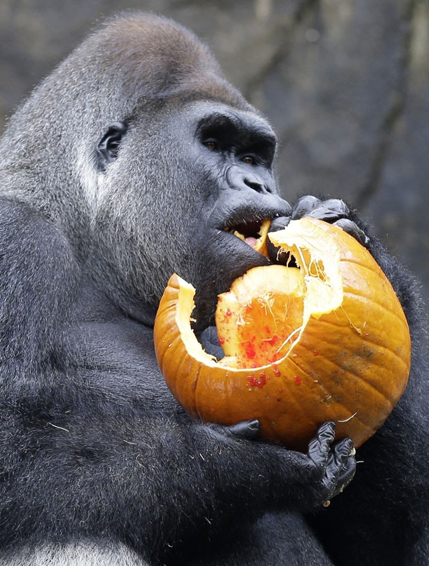 Gorila 'Jomo' come parte do vegetal antes de jogá-lo fora (Foto: Al Behrman/AP)