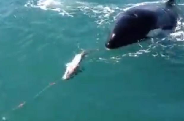 Mamífero surgiu depois que peixe foi fisgado e 'roubou' animal do pescador (Foto: Reprodução/YouTube/Charlie Barberini)