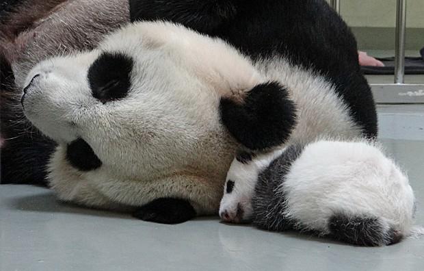 Filhotes de panda são apresentados ao público neste domingo (29) na China (Foto: China Daily/Reuters)