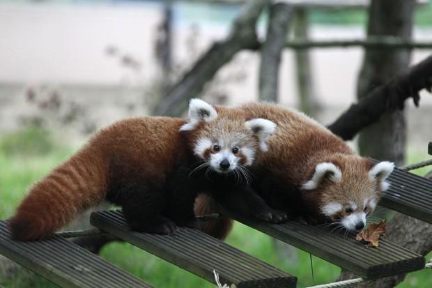Ying e Yang são vistos nas dependências do zoológico Cerza, no norte da França. (Foto: AFP Photo/Charly Triballeau)