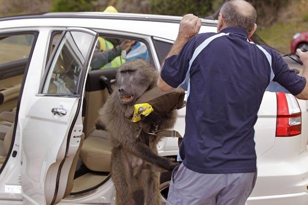 Hendrik Raven se assusta após babuíno saltar em sua direção após roubar comida. (Foto: Schalk van Zuydam/AP)