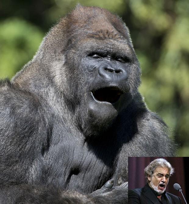 O gorila chamado 'Bantu' foi fotografado em uma pose que lembrava um cantor de ópera. A cena foi registrada no zoológico de Chapultepec, na Cidade do México, na quinta-feira (9) (Foto: Omar Torres/AFP)