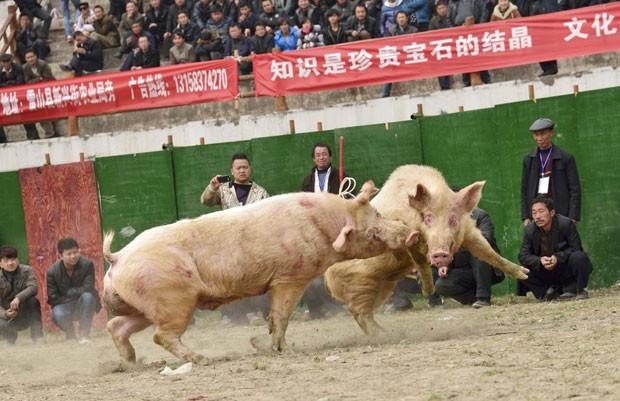 Com estádio lotado, chineses promoveram lutas envolvendo porcos (Foto: Reuters)