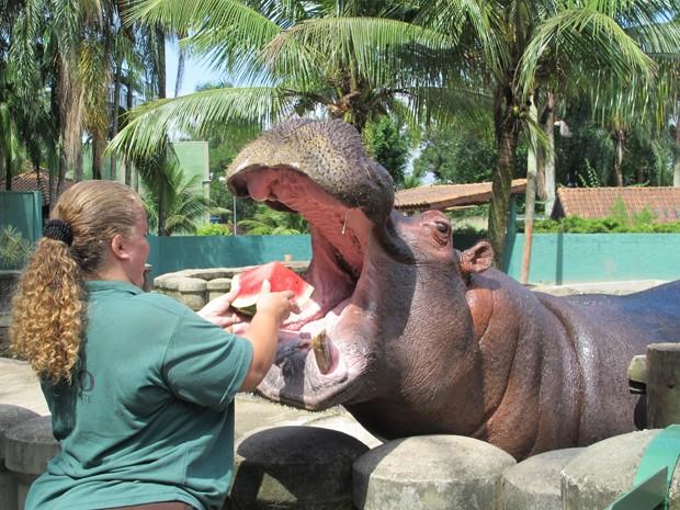 Bióloga de São Vicente oferece melancia ao hipopótamo Ramon (Foto: Mariane Rossi/G1)