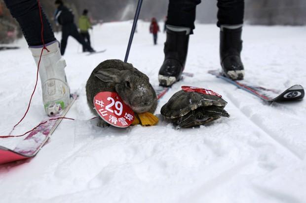 Após perder, coelho posa ao lado de rival em corrida de animais com esqui na China (Foto: AFP)