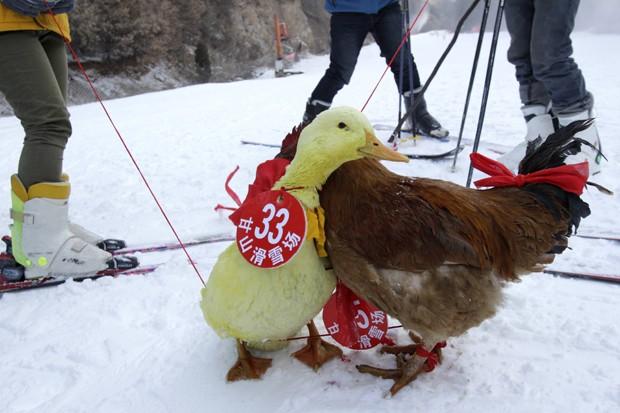 Pato e galinha 'se abraçam' após corrida de esqui (Foto: AFP)