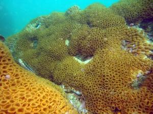 Coral conhecido como 'Baba-de-boi' (Foto: Edson Chuck/Arquivo pessoal)