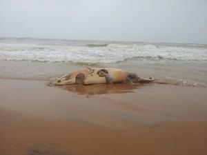 Pescadores encontraram um exemplar de baleia-cinzenta siamesa em uma praia do México (Foto: Conanp/AFP)