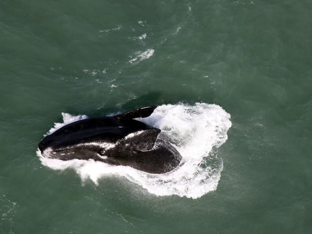 A carcaça do animal apareceu nas águas da praia de Carrasco neste domingo (Foto: Miguel Rojo/AFP)