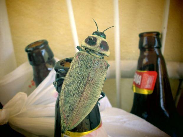 Besouro foi encontrado no quintal de uma casa em Piracicaba (Foto: Rosemeire Domarco/VC no G1)